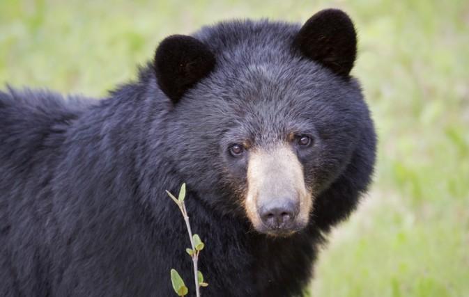 Yosemite Struggles To Keep Hungry Wild Black Bears From