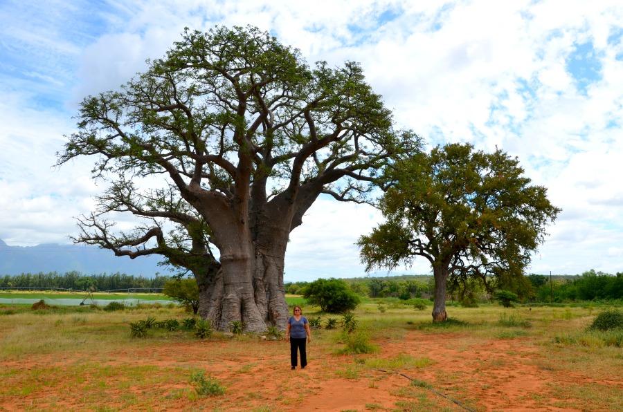 W baobab