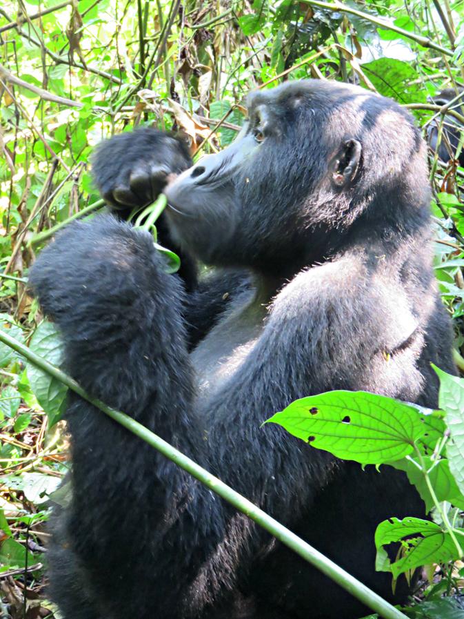 Uganda's rare mountain gorillas