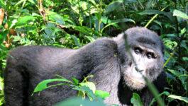 Uganda's rare mUganda's rare mountain gorillasountain gorillas
