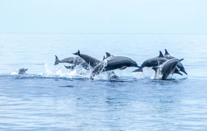 ACV-Transat-and-more-helping-to-end-dolphin-tourism-says-World-Animal-Protection