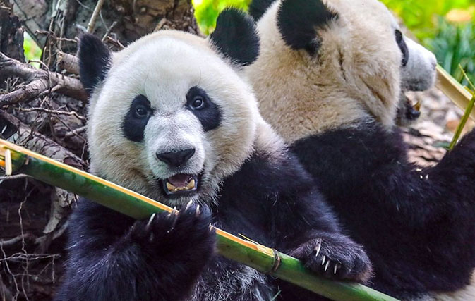 It-takes-two-airlines-to-feed-picky-pandas-at-Calgary-Zoo