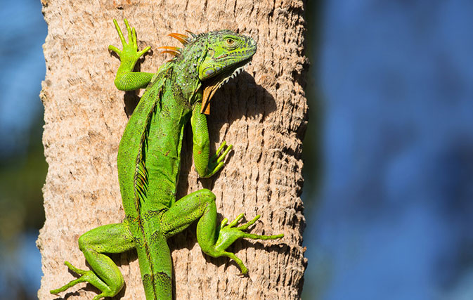 It is so cold in Florida that iguanas are falling out of trees